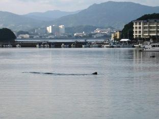 内ノ浦湾のマッコウクジラ