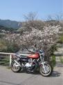 大原の桜 カワサキZ2