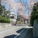 さくら坂の桜2012