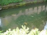 札幌のこいのいる川