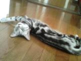 暑さでだれた猫