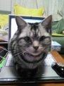 パソコンに座る猫