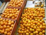 みかん 蜜柑 韓国 済州島