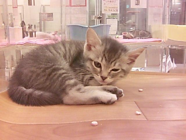 イオンモールKYOTOペットプラス世界の猫ちゃん大集合!の猫ちゃん