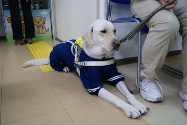 関西盲導犬協会の現役盲導犬