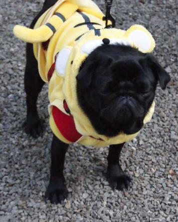 悔しがる黒姫パグ犬の写真