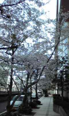 入学式の桜