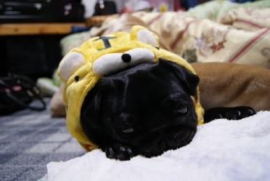 起きたらトラになったパグ