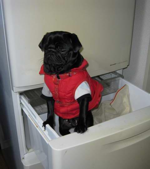 冷蔵庫の中のパグ犬