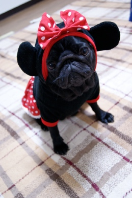 黒姫パグ犬のミニーマウス