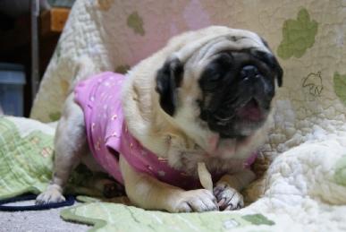 ほねっこを食べるピーチパグ犬