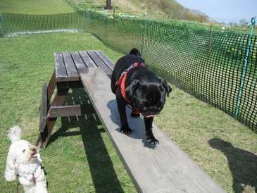 パグ犬、橋に渡る