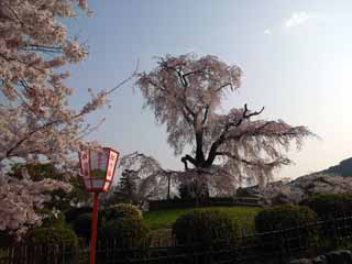 円山公園しだれ桜